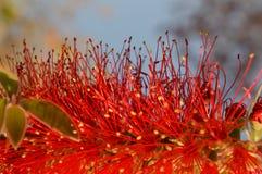 Het rood van bloemen Stock Foto