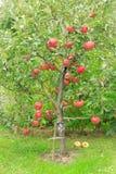 Het rood van de appel Royalty-vrije Stock Foto's