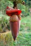 Het Rood van de Bloem van de banaan stock afbeeldingen