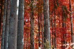 het rood van de boskleur in de de herfstmaanden stock afbeelding