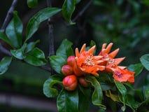 Het rood van de granaatappelbloem Royalty-vrije Stock Foto