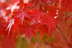 Het rood van de herfst Royalty-vrije Stock Foto
