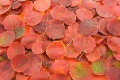 Het rood van de herfst doorbladert achtergrond Royalty-vrije Stock Fotografie
