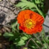 het rood van de papaverbloem Royalty-vrije Stock Afbeeldingen