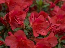 Het rood van de rododendronbloem Stock Afbeelding