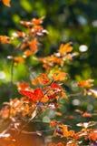 Het rood van het Mableblad Stock Foto