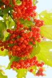 Het rood van Viburnum Royalty-vrije Stock Foto