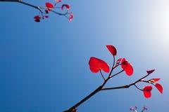 Het rood verlaat againts blauwe hemel stock afbeelding