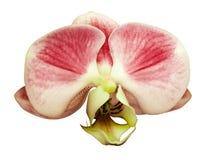 Het rood-witbloem van orchideephalaenopsis Geïsoleerd op witte achtergrond met het knippen van weg close-up Stock Fotografie