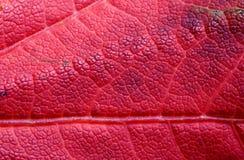 Het roodachtige Blad van de Esdoorn, Achtergrond Stock Foto