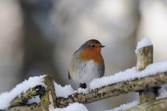 Het roodborstje van Robin () Royalty-vrije Stock Foto's