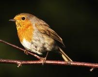 Het roodborstje van Robin royalty-vrije stock afbeeldingen