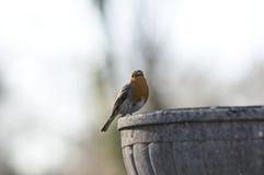 Het roodborstje van Robin in de lente Royalty-vrije Stock Afbeelding