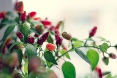 Het roodgloeiende Spaanse peperpeper groeien stock afbeelding