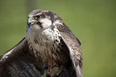 Het roofdier van de vogel Royalty-vrije Stock Afbeelding
