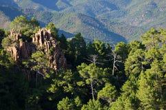 Het rotsachtige bos van de bergpijnboom Royalty-vrije Stock Afbeelding