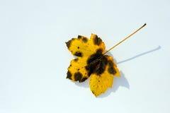 Het rotte blad van de esdoornboom Royalty-vrije Stock Foto