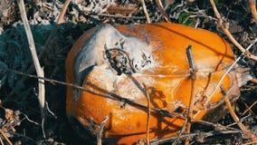 Het rotte pompoen groeien op een gebied stock footage