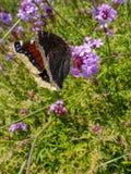 Het rouwen antiopa van Nymphalis van de Mantelvlinder of Camberwell-de Schoonheid op purper vervainijzerkruid bloeien royalty-vrije stock afbeelding