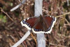 Het rouwen de schoonheidsvlinder van Camberwell van de mantelvlinder op een droge tak Stock Afbeelding