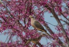 Het rouwen Duif in bloeiende boom stock afbeelding