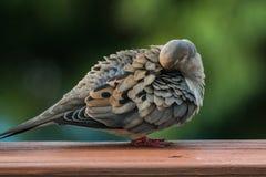 Het rouwen duif die op achterdek gladstrijkt Royalty-vrije Stock Afbeelding