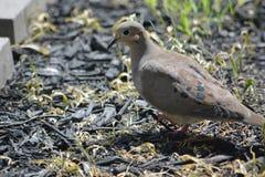 Het rouwen duif ter plaatse Royalty-vrije Stock Foto