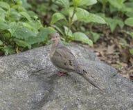 Het rouwen duif, Zenaida-macroura Stock Fotografie