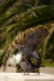 Het rouwen duiven het koppelen Royalty-vrije Stock Fotografie