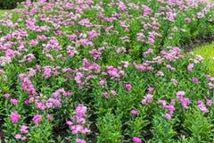 Het roze Anjer tot bloei komen Royalty-vrije Stock Afbeeldingen