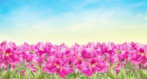 Het roze bed van de pioenenbloem op hemelachtergrond stock afbeelding