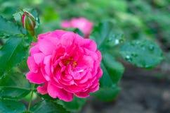 Het roze beklimmen nam, verscheidenheid-Rosarium Uetersen toe royalty-vrije stock foto's