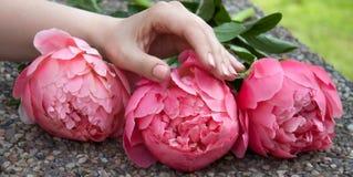 Het roze bloeide pioenen stock foto