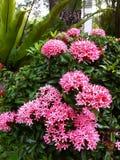 Het roze Bloeien Ixora Stock Foto's