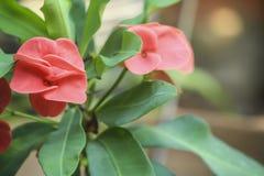 het roze bloeien van de bloemen van Wolfsmelkmilli in close-up stock afbeelding