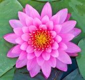Het roze Bloeien van Lotus Stock Fotografie