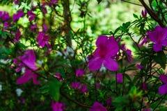 Het roze bloeit bij mooi op Doi Suthep van Thailand royalty-vrije stock fotografie