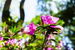 Het roze bloeit bij mooi op Doi Suthep van Thailand stock foto's