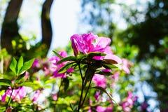 Het roze bloeit bij mooi op Doi Suthep van Thailand royalty-vrije stock foto's