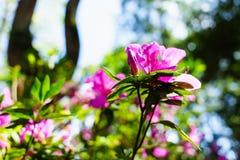 Het roze bloeit bij mooi op Doi Suthep van Thailand royalty-vrije stock foto