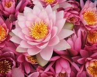 Het roze bloeit waterlily Stock Afbeelding
