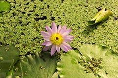 Het roze bloeit waterlily met andere aquatische installaties Royalty-vrije Stock Afbeeldingen