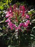 Het roze bloem bloeien stock afbeelding