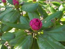 Het roze bloem openstellen Royalty-vrije Stock Afbeeldingen