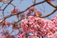 Het roze de bloem van de trompetboom bloeien Stock Fotografie