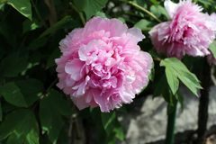 Het roze de bloem van Paeoniaofficinalis bloeien Stock Afbeeldingen