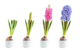 Het roze en blauwe hyacint bloeien Stock Fotografie