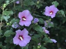 Het roze en mauve bloeien Althea & x28; Nam van Sharon& x29 toe; struik royalty-vrije stock foto