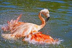 Het roze Flamingo Baden Royalty-vrije Stock Afbeelding