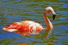 Het roze Flamingo Baden Stock Afbeeldingen